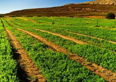 Carrot seed production with Biofarmsolution products