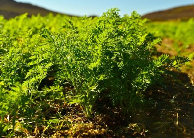 Carrot seed production with Biofarmsolution products more