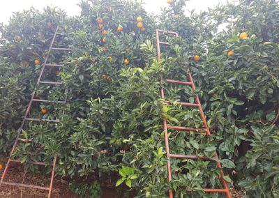 Citrus harvesting in Patensie