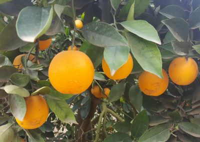 Orange trees in Addo