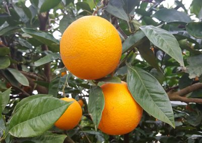 Organic citrus with Biofarmsoluitins products Patensie